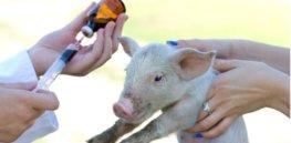 animal antibiotics use in the spotlight wrbm large