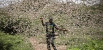 desert locust swarms further threaten food insecure east africa