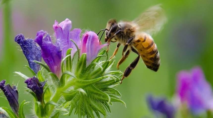 honeybee flower jpg x q crop scale