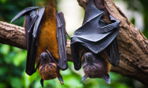 influenza in bats tp