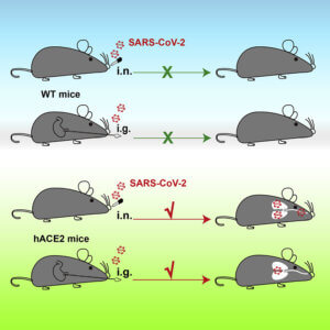 may cell host microbe mouse model of sars cov