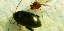 microctonus brassicae a parasitoid targeting the adult cabbage stem flea beetle psylliodes chrysocephala x