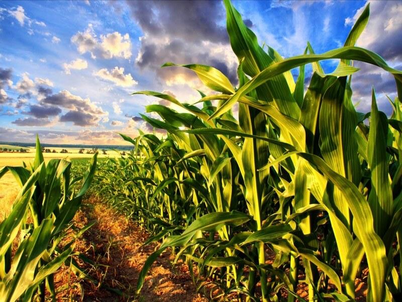 gmo corn shutterstock