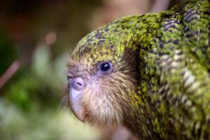Kakapo by Jake Osborne