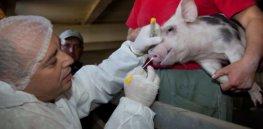 umbria veterinario maiale