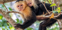 white headed capuchin istock resize