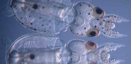 be b f d d ae f eeec d a control and knockout squid hatchlings doryteuthis pealeii credit karen crawford