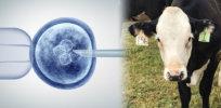 gene editing invitro crispr and cows x a