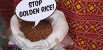stop golden rice
