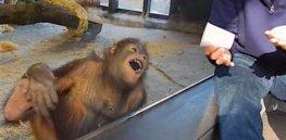 orangutan laughs at magic trick screenshot youtube