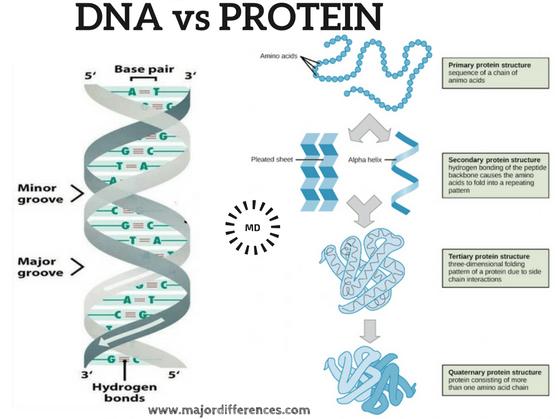 dna vs protein