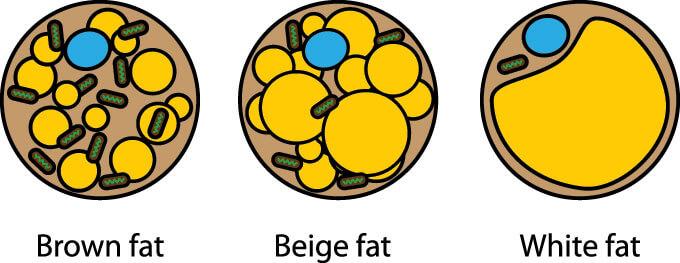 lem brown fat transplant fat cells