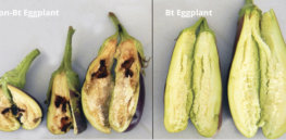 screenshot questions and answers about the fruit and shoot borer resistant eggplant bt talong the first filip
