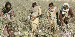 Viewpoint: GM cotton failed India's farmers? Another study says yes, but relies on false assumptions and misinterpreted data