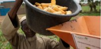 agra pushes small african farmers to sacrifice food crops for commercial crops esp corn