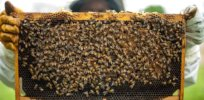 Viewpoint: 'Misguided enthusiasm' to save honeybees threatens wild pollinators