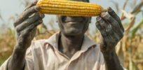 Kenya advances GM maize to improve yields, reduce pesticide use