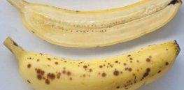 CRISPR-edited bananas immune to killer pathogens advance toward commercialization in Africa