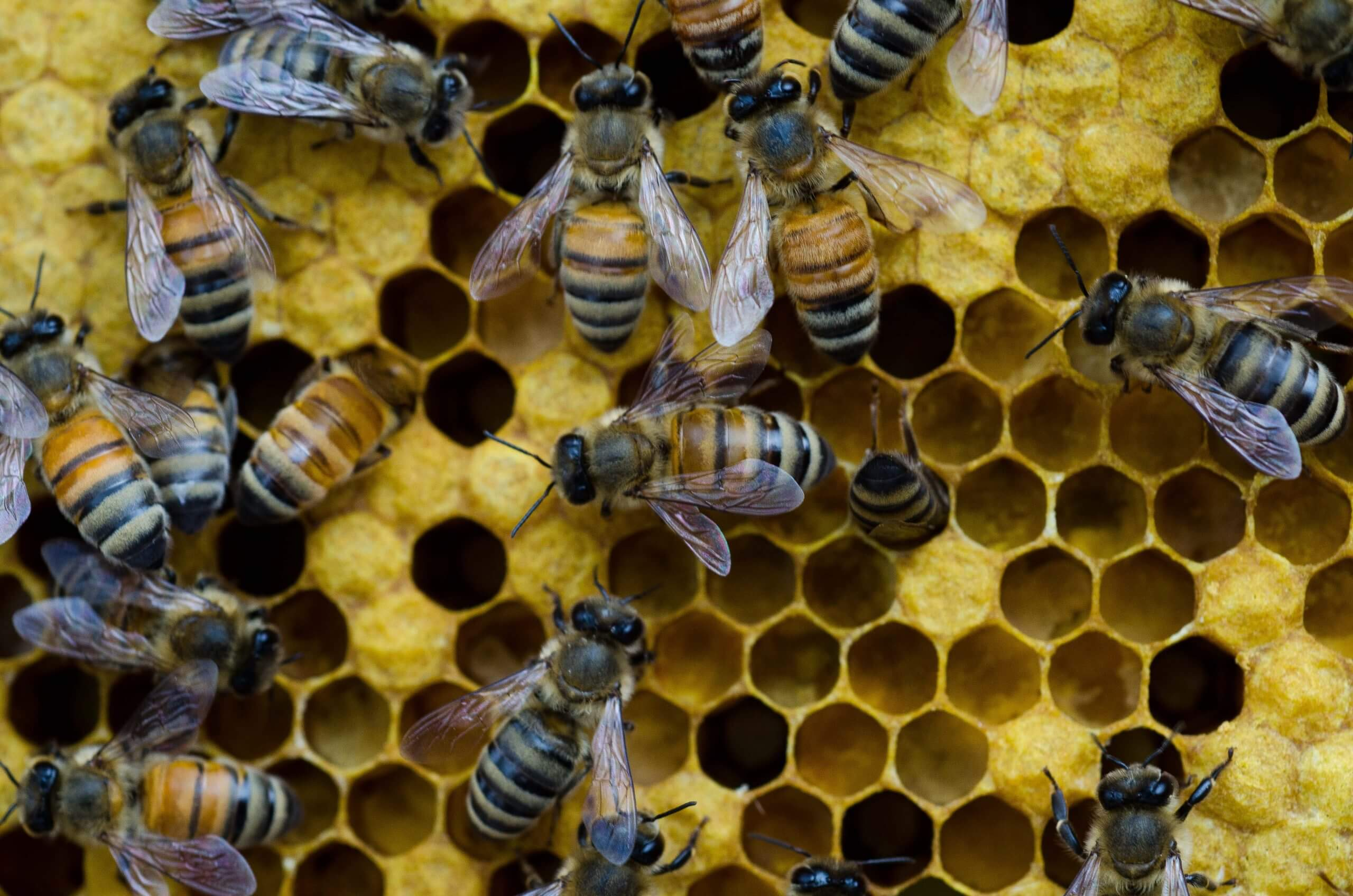 Bt insect toxin in GM crops 'has no negative effects on honey bees,' study confirms