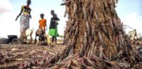 locust destruction in africa credit fao via genetic literacy project