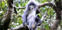 'Already facing extinction': Recently discovered leaf-eating Popa langur species down to 200 monkeys