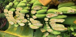 GM banana could help Uganda's farmers battle bacterial wilt, but the country needs a biosafety law first