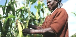 GM, insect-resistant, Bt maize offers Kenyan farmers chance to boost yields while cutting pesticide use, local soil scientist says