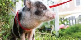 Pigs are 'hot' as family pets. Are they as social as dogs?
