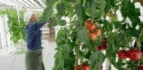 Japan poised to approve first gene-edited food, tomato that fights high blood pressure