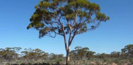 Salt-tolerant, GM Eucalyptus tree has no adverse effects on biodiversity, study finds
