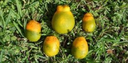Gene editing offers potential solution to orange growers struggling against citrus greening disease