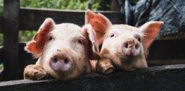 Can Biden USDA bring America's animal gene-editing rules into the 21st century?