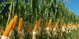 USDA green lights high-yield, herbicide-resistant GM corn variety, finding it unlikely to pose a plant pest risk