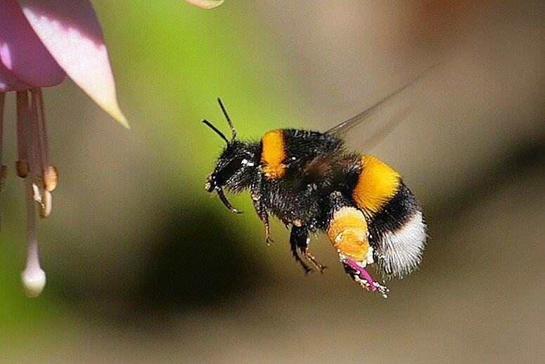 pesticides bees