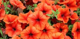 USDA approves GM petunias engineered to produce orange flowers