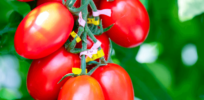 Success of CRISPR tomato may determine if gene-edited foods take root in Japan