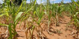 Drought-tolerant GM corn comes with added, unexpected benefit—pest resistance