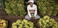 Cavendish banana could 'disappear' in the 2020s. Can CRISPR gene editing save it from a deadly fungus?