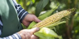 Viewpoint: Eco-hypocrisy—Mexico bans GM corn and glyphosate to promote sustainability while subsidizing fossil fuels