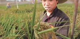 China launches GM crop research initiative to strengthen food security