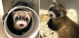 Meet black footed ferret Elizabeth Ann, the first cloned endangered species in North America