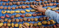 'Vitaminized potatoes': Guatemala poised to begin distributing GM, pest-resistant spuds with more vitamin C, iron and zinc