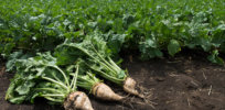 Glyphosate-tolerant sugarbeet: Case study of lower CO2 emissions, higher yields with GM crops