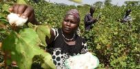 Kenya anticipates massive increase in crop production as GM, insect-resistant cotton distribution begins