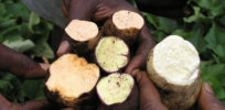 High-yielding sweet potato that fights vitamin A deficiency could be Ghana's first gene-edited crop