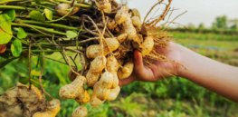 Peanut butter saved? Heat-tolerant peanuts may stave off yield-cutting impacts of climate change