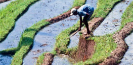 GMOs and the environment: 'No significant difference' and no unintended gene transfer in GM rice compared to conventional varieties, study shows