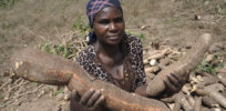 GMOs and nutrition: Disease-resistant, biofortified cassava could boost Africa's access to essential minerals