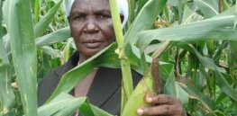 Kenyan farmers clamor for GMO maize seed after visiting demonstration site