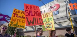 Anti-GMO activists launch final effort to block AquaBounty's fast-growing, sustainable GM salmon as US sales loom